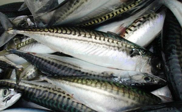 Chọn cá nục tươi ngon, to vừa để làm cá nục một nắng
